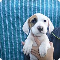 Adopt A Pet :: Scamp - Oviedo, FL