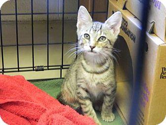 Domestic Shorthair Kitten for adoption in Randleman, North Carolina - Taz