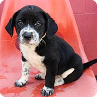 Adopt A Pet :: PUPPY FOSTERS NEEDED - Franklin, TN