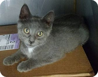 Domestic Shorthair Kitten for adoption in Powellsville, North Carolina - FRED