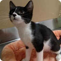 Domestic Shorthair Kitten for adoption in Ashtabula, Ohio - Cotton