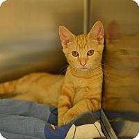 Domestic Shorthair Kitten for adoption in Beacon, New York - Simba