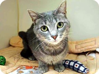 Domestic Shorthair Cat for adoption in New York, New York - Kenzie