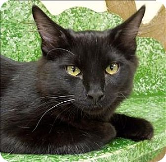 Domestic Mediumhair Kitten for adoption in Sherwood, Oregon - Gatsby