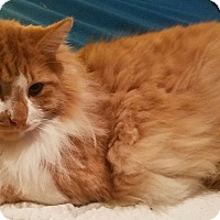 Maine Coon Cat for adoption in Ennis, Texas - Mojo