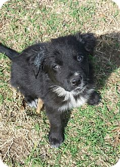 Border Collie Mix Dog for adoption in Tuttle, Oklahoma - Noah
