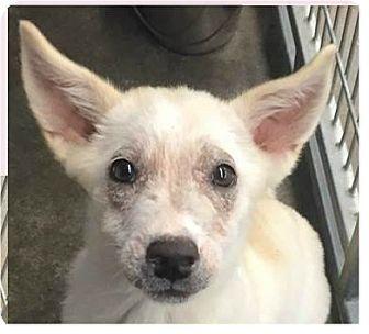 Labrador Retriever/Great Pyrenees Mix Puppy for adoption in Springdale, Arkansas - Sydney