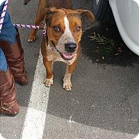 Cattle Dog/Beagle Mix Dog for adoption in Reno, Nevada - Callie