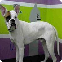 Adopt A Pet :: Wabbit - Austin, TX