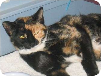 Calico Cat for adoption in Scottsdale, Arizona - Callie