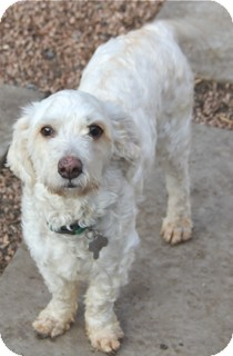 Poodle (Miniature)/Lhasa Apso Mix Dog for adoption in Norwalk, Connecticut - Randy - adoption pending