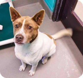 Cattle Dog Mix Dog for adoption in Loudonville, New York - Ernie