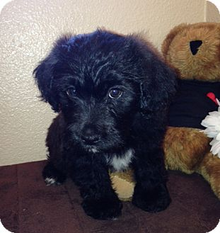 Poodle (Standard)/Terrier (Unknown Type, Medium) Mix Puppy for adoption in Inglewood, California - Sophie
