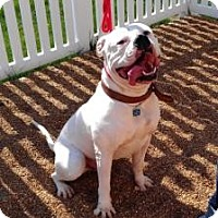Adopt A Pet :: Chip BIG AND BEAUTIFUL! - Antioch, IL