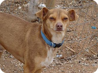 Miniature Pinscher/Italian Greyhound Mix Dog for adoption in Apple Valley, California - Theodore