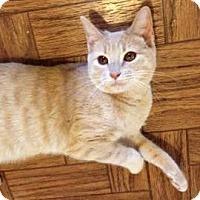 Manx Cat for adoption in Austin, Texas - O'Purry