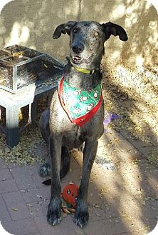 Great Dane/Greyhound Mix Dog for adoption in Mesa, Arizona - Sirius