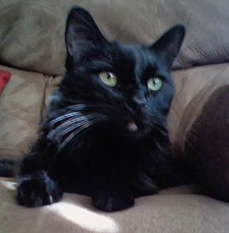 Domestic Shorthair Cat for adoption in Orange County, California - Bono