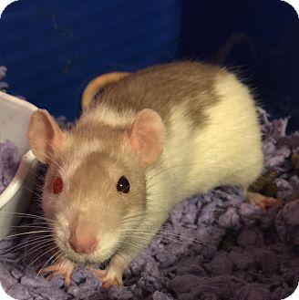 Rat for adoption in Dallas, Texas - *** COURTESY PROFILE ***