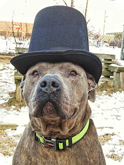 Pit Bull Terrier Mix Dog for adoption in West Babylon, New York - Hero