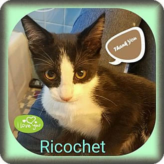 Domestic Shorthair Kitten for adoption in Warren, Michigan - Ricochet