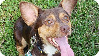 Corgi/Rat Terrier Mix Dog for adoption in Richmond, Kentucky - Andy
