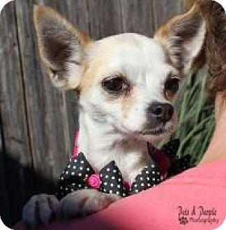 Chihuahua Dog for adoption in Yukon, Oklahoma - Damita