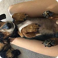 Adopt A Pet :: Pippin - Palm Harbor, FL