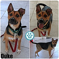 German Shepherd Dog Mix Dog for adoption in Kimberton, Pennsylvania - Duke