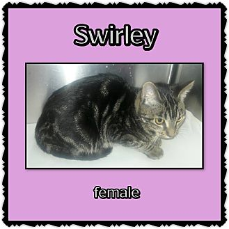 Domestic Mediumhair Cat for adoption in Richmond, California - Swirley