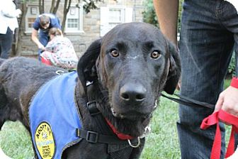 Labrador Retriever Dog for adoption in Washington, D.C. - Brad