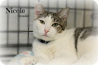 Domestic Shorthair Cat for adoption in Glen Mills, Pennsylvania - Nicole