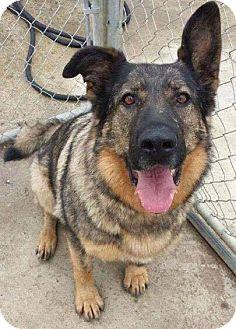 Shepherd (Unknown Type) Mix Dog for adoption in Edmonton, Alberta - Sable