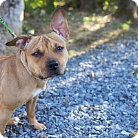 Adopt A Pet :: Harley Quinn - Whitehall, PA