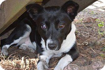 Border Collie Mix Dog for adoption in Arlington, Virginia - Mattea - ADOPTION PENDING!!