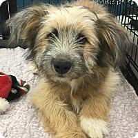 Adopt A Pet :: Cora - Tucson, AZ