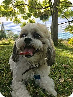 Shih Tzu Mix Dog for adoption in Ft. Myers, Florida - Bam Bam
