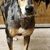 Catahoula Leopard Dog Mix Dog for adoption in Loxahatchee, Florida - Ursa