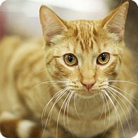 Domestic Shorthair Kitten for adoption in Great Falls, Montana - Poppy