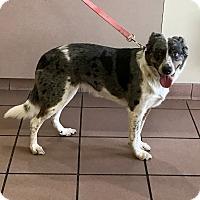 Adopt A Pet :: Scout - Las Vegas, NV