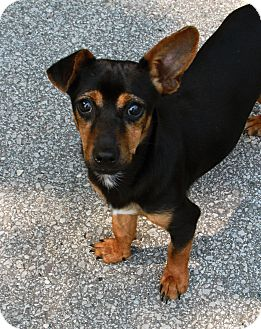 Dachshund Mix Dog for adoption in Muskegon, Michigan - Linus