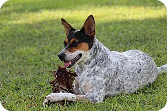 rat terrier australian cattle dog mix tiki adopted dog orlando fl australian cattle dog 724
