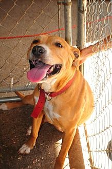 American Staffordshire Terrier Dog for adoption in Crandall, Georgia - Stephanie