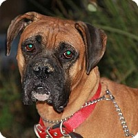 Boxer Dog for adoption in Los Angeles, California - GORDON