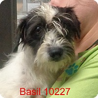Adopt A Pet :: Basil - baltimore, MD