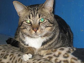 Domestic Shorthair Cat for adoption in Coos Bay, Oregon - Timmy