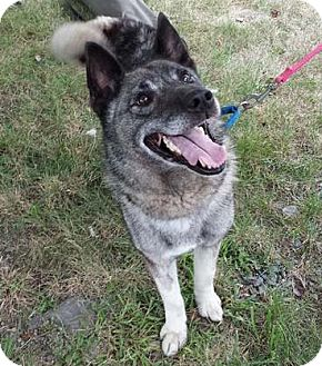 Norwegian Elkhound Dog for adoption in Parsippany, New Jersey - Tiberius