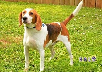 Beagle Dog for adoption in Sebastian, Florida - Elvis