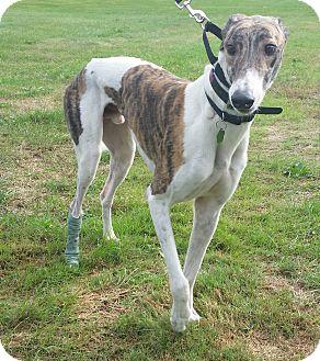 Greyhound Dog for adoption in Glastonbury, Connecticut - Jax