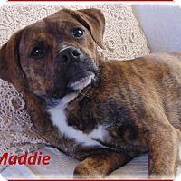 Adopt A Pet :: Mattie- Really sweet pup! - Marlborough, MA